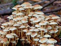 Связанное woodlover (fasciculare hypholoma) Стоковое Изображение