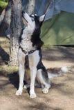 Связанный шатер собаки располагаясь лагерем Стоковое Изображение RF
