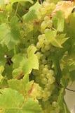 Связка винограда на запасе лозы Стоковая Фотография RF
