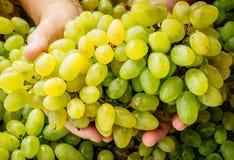 Связка винограда в человеческих руках стоковая фотография