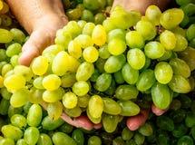 Связка винограда в человеческих руках стоковые фото