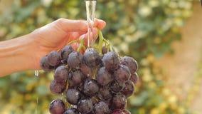 Связка винограда закрывает вверх в солнечном дне акции видеоматериалы