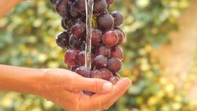 Связка винограда закрывает вверх в солнечном дне видеоматериал