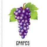 Связка винограда на белой предпосылке Стоковое Изображение RF