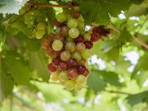 Связка винограда на лозе с зелеными листьями Стоковая Фотография RF