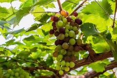 Связка винограда на лозе с зелеными листьями Стоковые Изображения RF