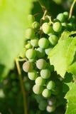 Связка винограда на лозе Стоковая Фотография RF