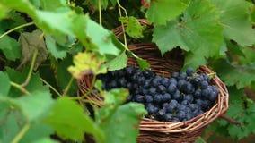 Связка винограда падая в корзину сток-видео