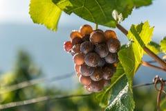 Связка винограда с падениями Стоковые Изображения RF