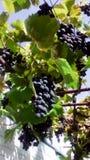 Связки винограда Стоковые Изображения RF