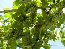 Связки винограда Лидия Стоковая Фотография RF