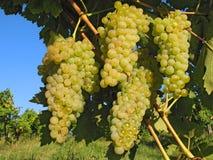 связывает виноградину Стоковое Фото