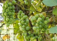 связывает зеленый цвет виноградин Стоковые Изображения
