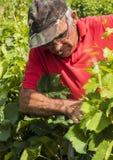 Связывать вверх по винограднику мужчины работника Стоковое фото RF