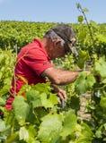 Связывать вверх по винограднику работника Стоковые Изображения