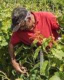 Связывать вверх по мужскому винограднику работника Стоковые Изображения