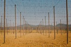Связывать проволокой и деревянные штендеры - поле молодых хмелей - Словакия во время весны стоковая фотография