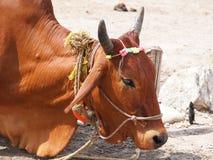 Святейшая корова Стоковое Изображение RF