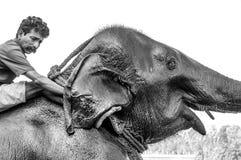 Святилище слона Kodanad - слон купая в прогрессе с хранителями моя за ушами - черно-белое стоковое фото