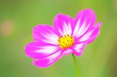 Святой цветок galsang Стоковые Фотографии RF