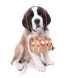 святой щенка портрета bernard Стоковое Изображение
