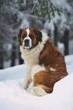 святой bernard Стоковая Фотография