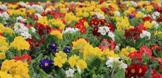 святой petersburg России цветка кровати близкое вверх Стоковое фото RF