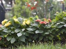 святой petersburg России цветка кровати близкое вверх Стоковые Изображения RF