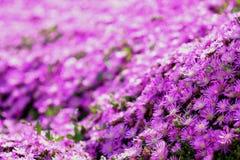 святой petersburg России цветка кровати близкое вверх Стоковое Изображение RF