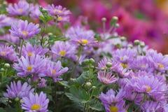 святой petersburg России цветка кровати близкое вверх Стоковое Изображение