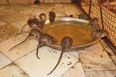 Святые крысы в виске Karni, Bikaner стоковое фото rf