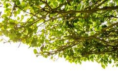 Священная смоковница, дерево Pipal, дерево Bodhi, дерево Bo, Pipal religiosa фикуса) ), то Стоковая Фотография RF