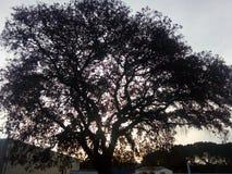 Священное большое дерево стоковое фото rf