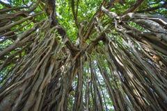 Священное дерево в джунглях Индия goa Стоковое Изображение RF