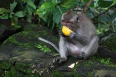 Священное пиршество леса обезьяны Стоковые Фотографии RF
