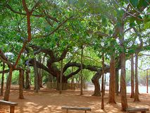 Священный баньян на Matrimandir, Auroville, Индии Стоковые Фото