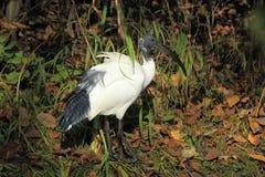 Священный ibis Стоковые Фотографии RF
