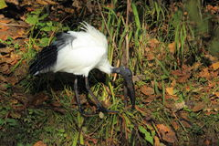 Священный ibis Стоковая Фотография