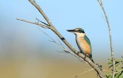 Священный Kingfisher с космосом экземпляра Стоковые Изображения RF