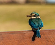Священный Kingfisher Стоковая Фотография