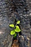 сгоранный пень sapling Стоковое Изображение
