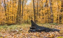 Сгорели дерево в лесе Стоковое Изображение RF
