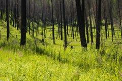 Сгорели лес с Fireweed стоковые изображения