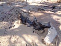 Сгорели хобот можжевельника - отава одичалого огня 3 стоковые фото