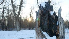 Сгоренный пень дерева в природе снега зимы леса огня Стоковое Изображение