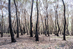 Сгорели лес после огня Стоковые Фотографии RF