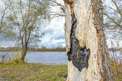 Сгорели ствол дерева вербы Стоковое Изображение RF