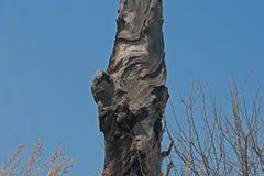 Сгорели ствол дерева Стоковое фото RF