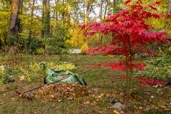 Сгребать листьев в саде в осени стоковые фотографии rf