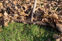 Сгребать сухие листья с садовничая инструментами Чистка осени на l стоковая фотография rf
